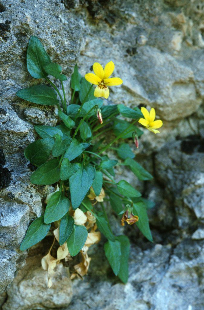 Viola guadalupensis (TX. May 2001)