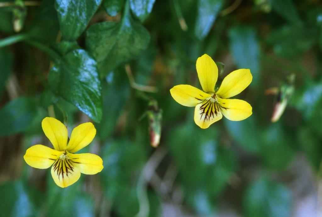 Viola guadalupensis (TX. April 2002)