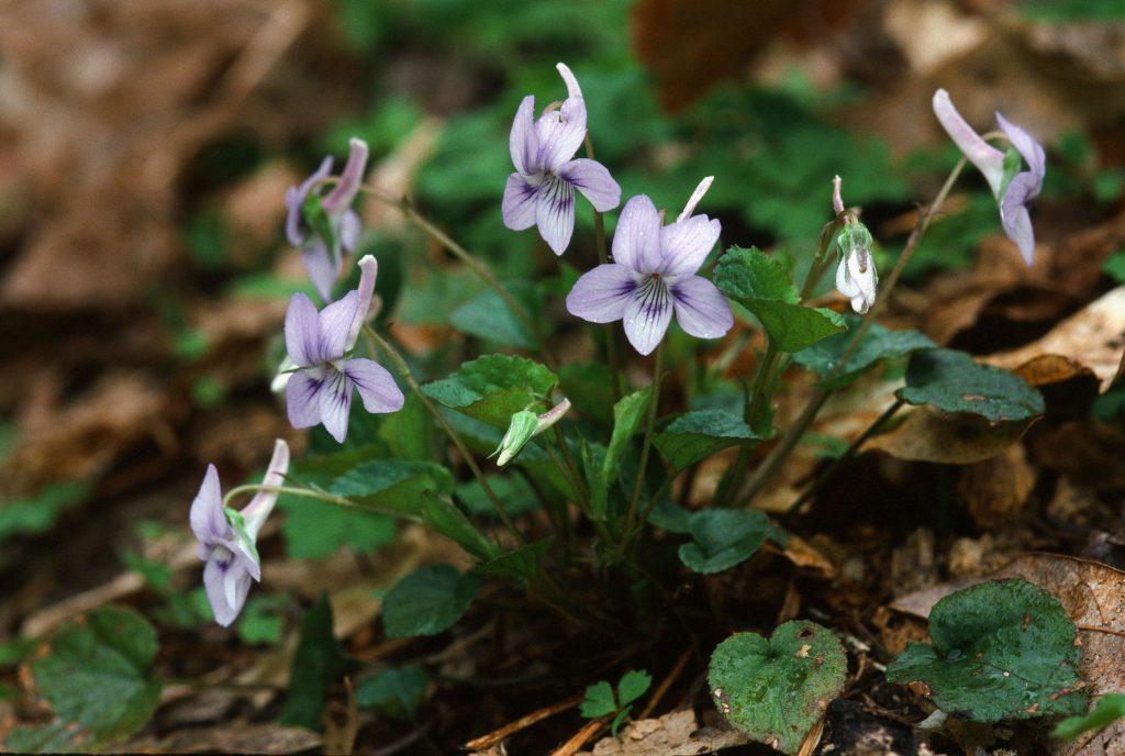 Viola rostrata Dunbar Valley Fayette Co PA. April 2003
