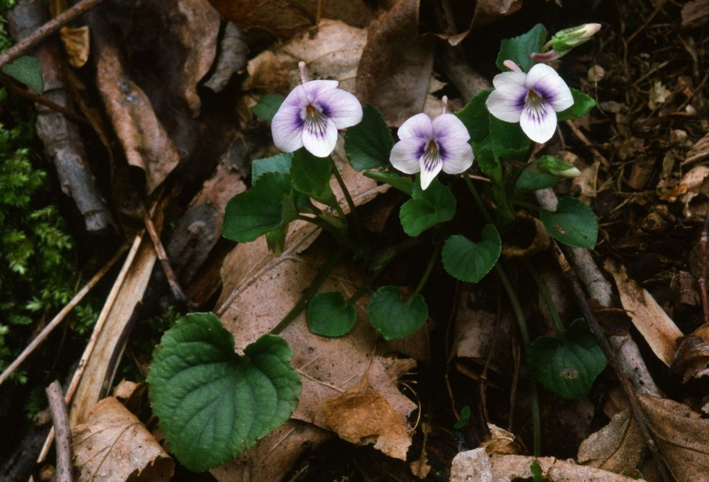 Viola rostrata; whiter form with shorter spur petals more rounded Hybrid May 2001