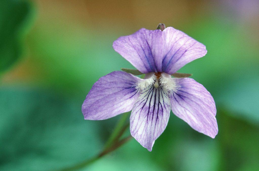Viola rostrata x Viola walteri hybrid ex a florida nursery 2010