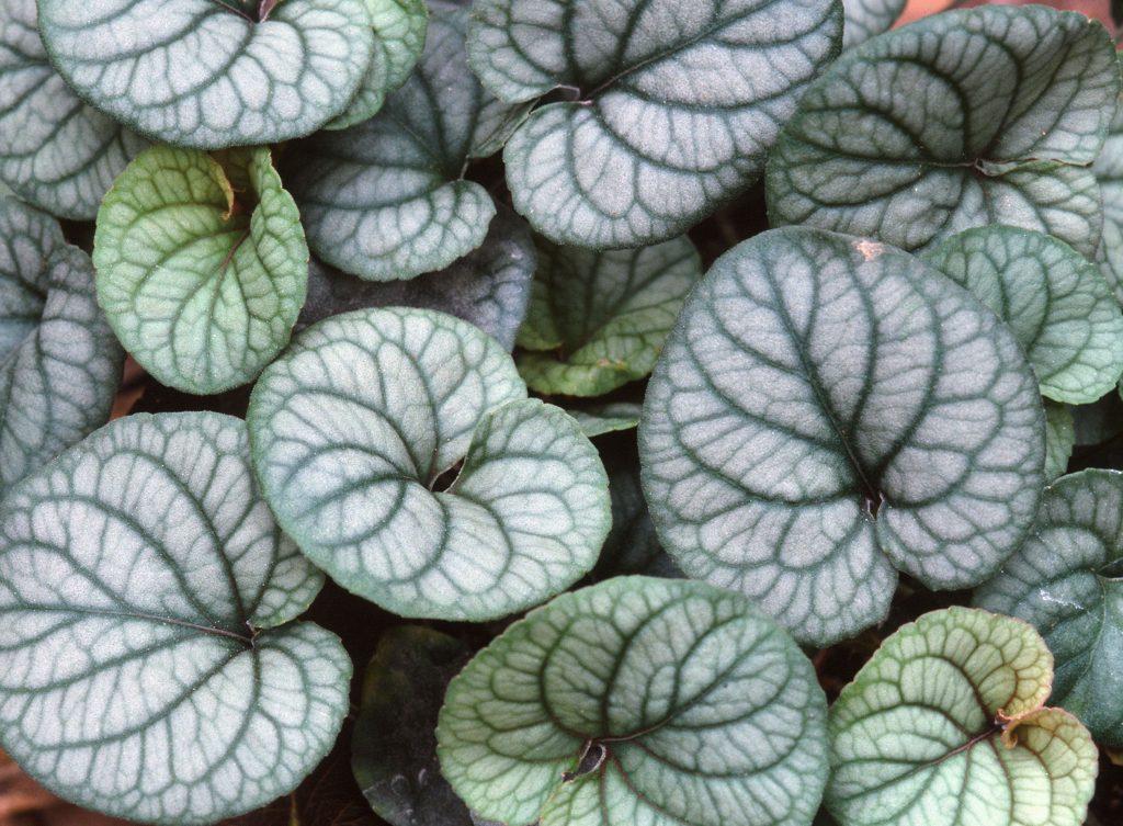 Leaves of Viola walteri (Oct 2002)