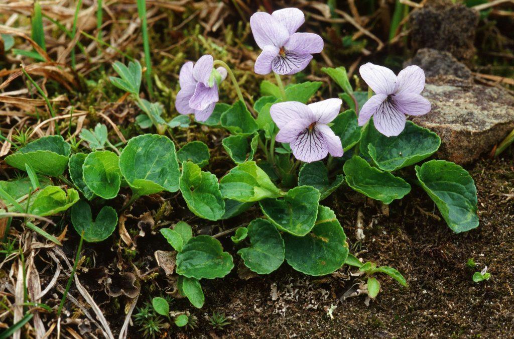 Viola langsdorffii (Mt Robetrs, Juneau, AK. June 2005)