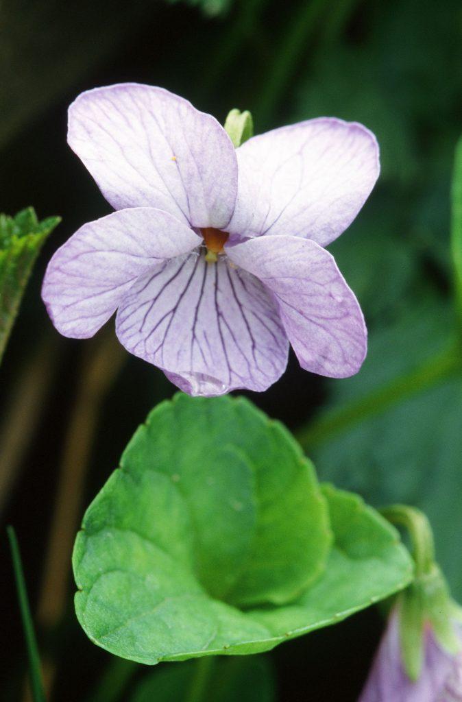 Viola langsdorffii (Mt Roberts, Juneau AK. June 2005)