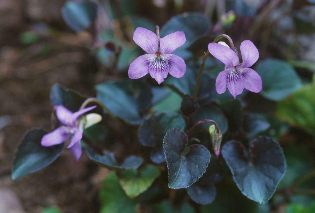 21-viola-labradorica-or-riviana-purpurea-april-2005