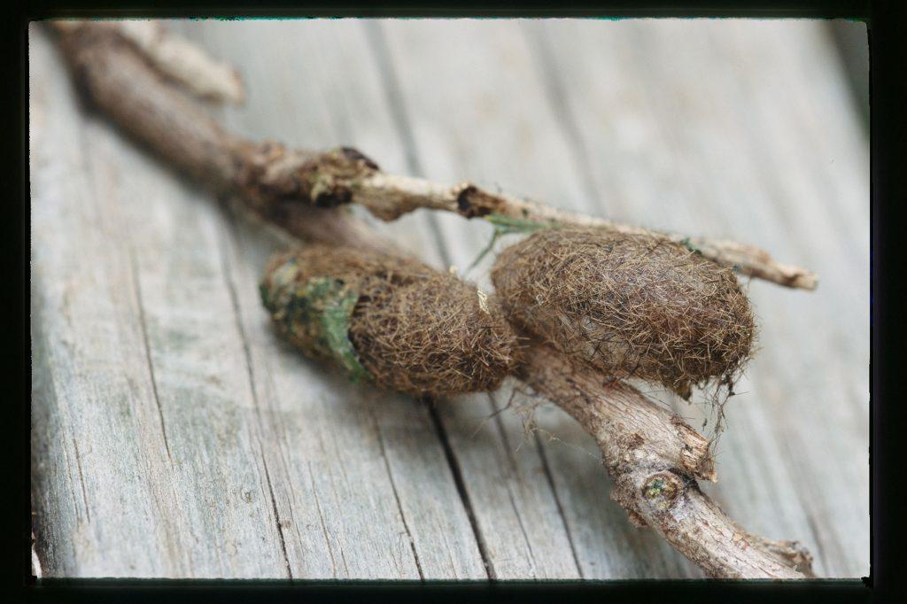 Coccoon of woolly bear moth
