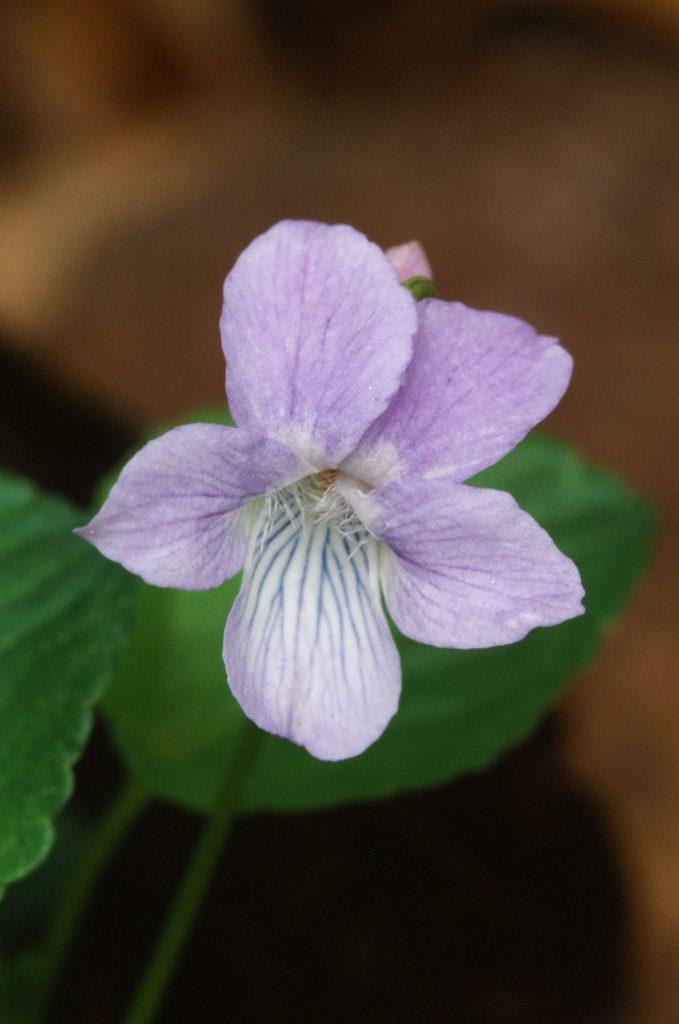 Viola adunca minor (from WI)