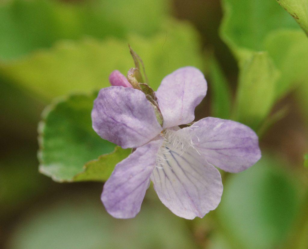 Viola adunca minor (Bruce Peninsula. ONT Canada, May 2007)
