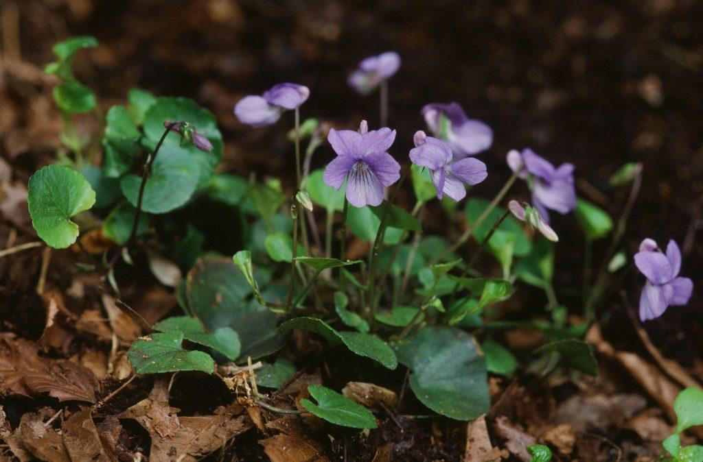 Viola appalachiensis (Canaan Valley , WV April 2007)