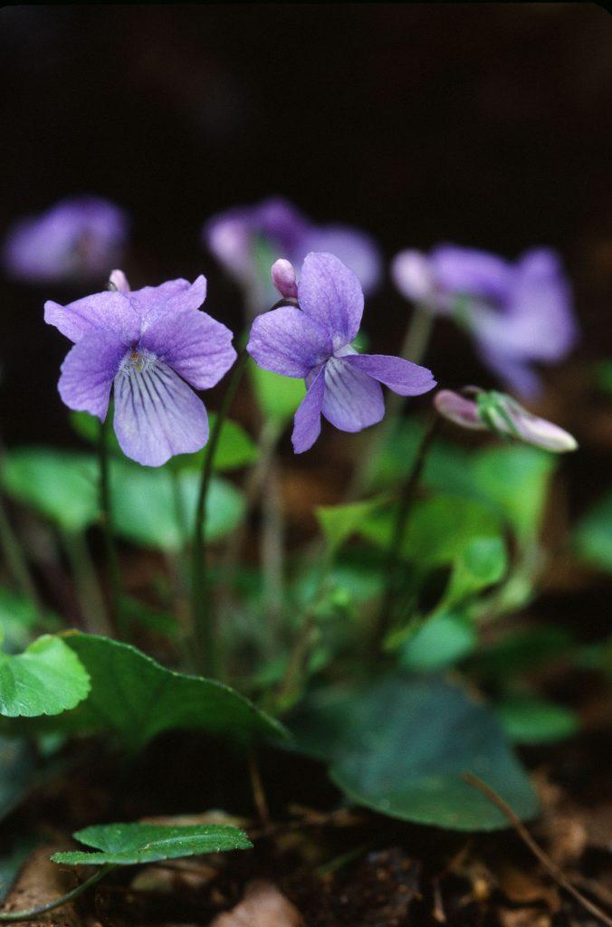 Viola appalachiensis (Canaan Valley, WV May 2007)