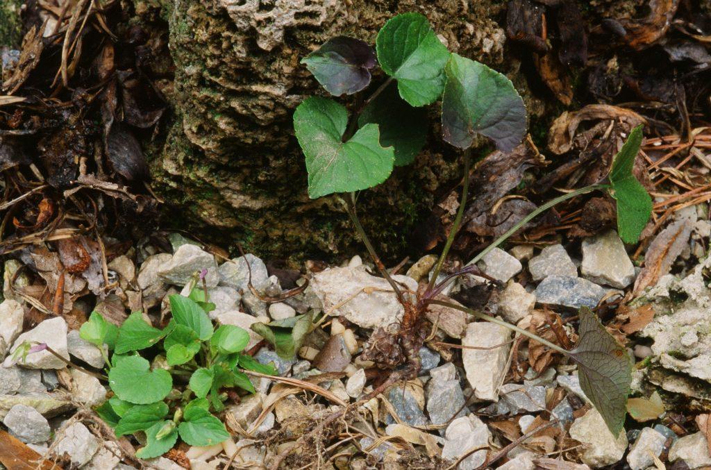 Viola labradorica and V. riviana purpurea in cultivation - comparison (June 2006) [V. riviana f. purpurea on the right]