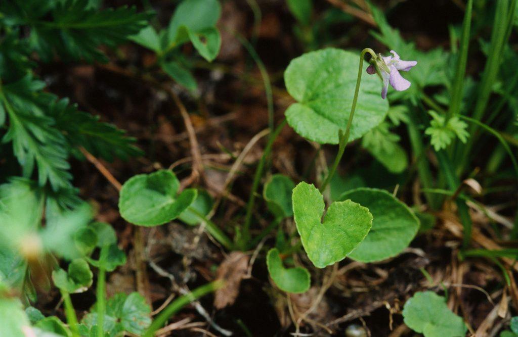 Viola labradorica, (NL Canada, July 2005)