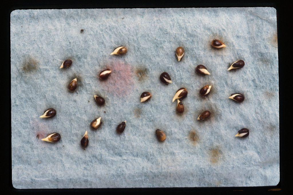 Germinating Viola seeds (giberellic acid treated)