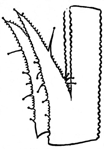 Viola appalachiensis stipule