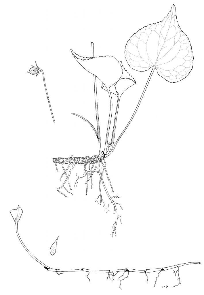 Viola canadensis var. rugulosa (MCL)