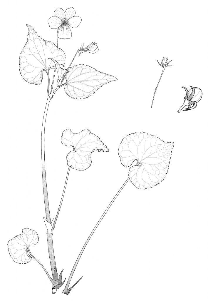 Viola canadensis var.canadensis