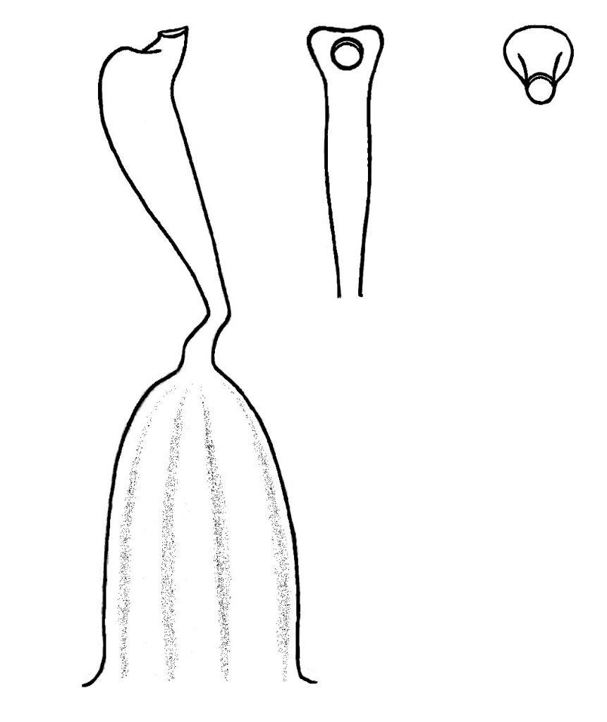 Style of Viola langsdorffii