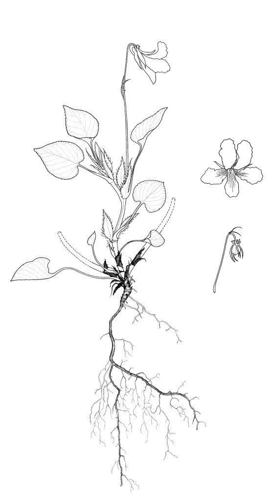 Viola striata plant and flower