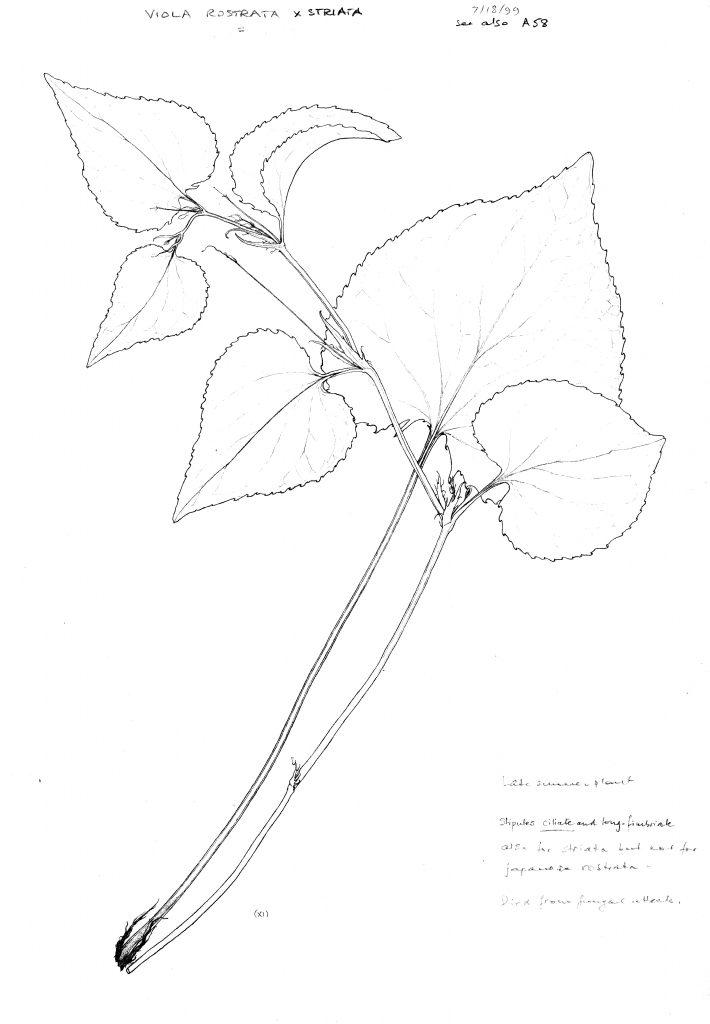 Viola striata x V. rostrata
