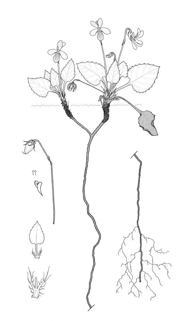 Viola umbraticola