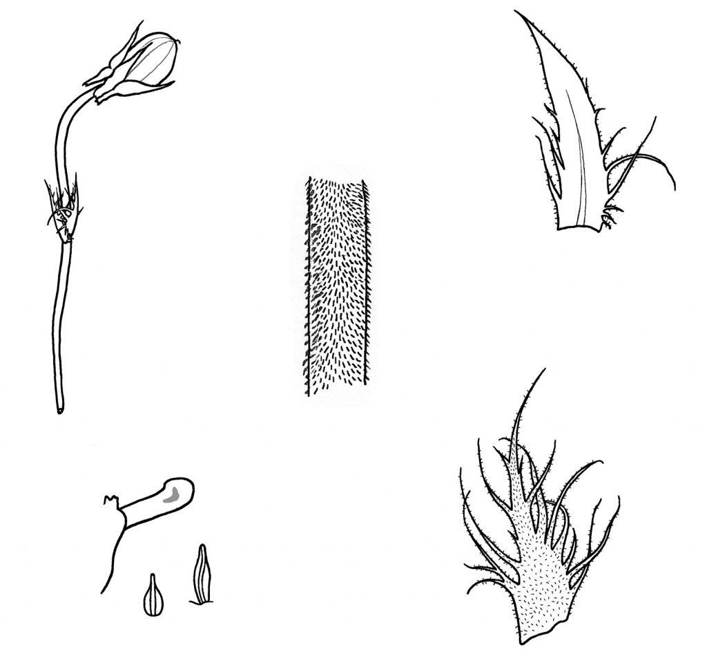 Viola walteri: pod, bracteole, peduncle hairs, stipule, lower spur