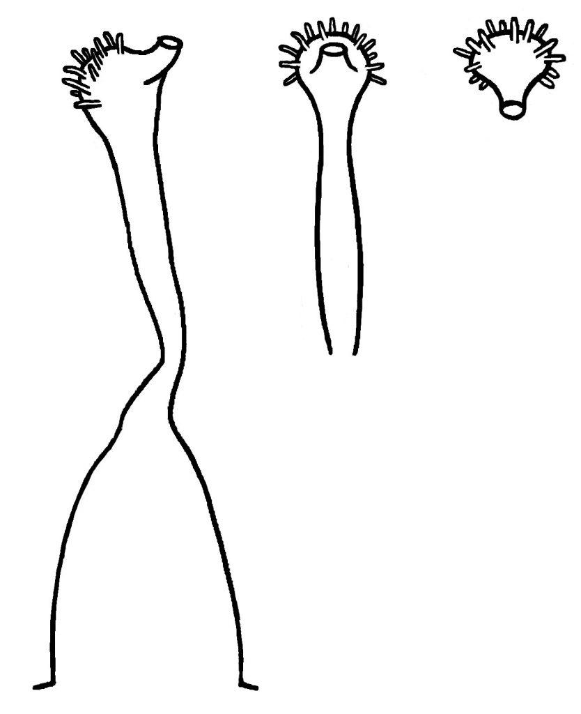 Style of Viola walteri