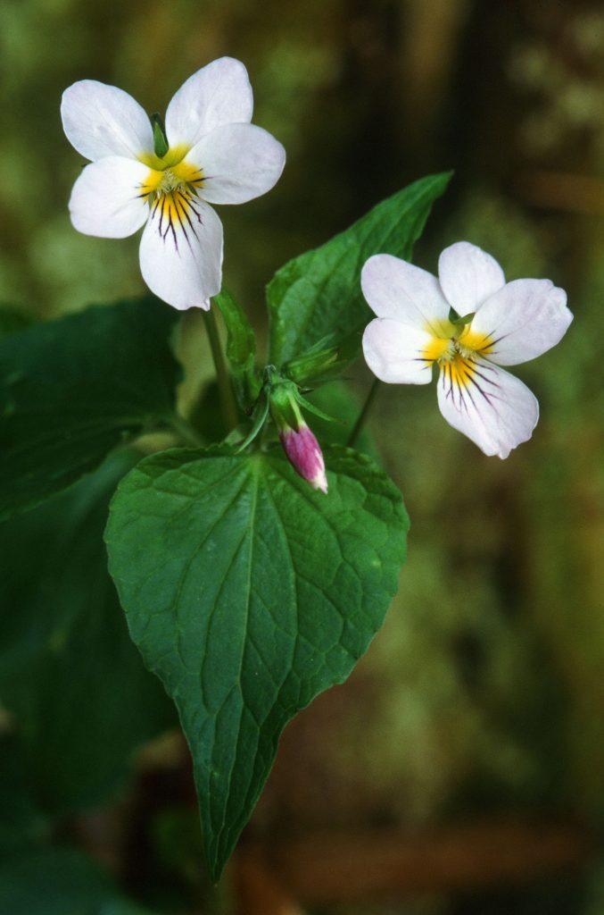 Viola canadensis (May 2005)