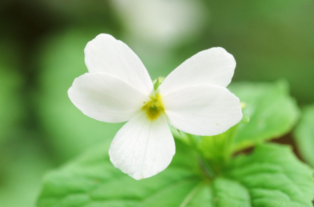 Viola canadensis, white form, no purple guidelines (Mt Cuba DE, collected Henderson Co, NC by Dick Light. May 2009)