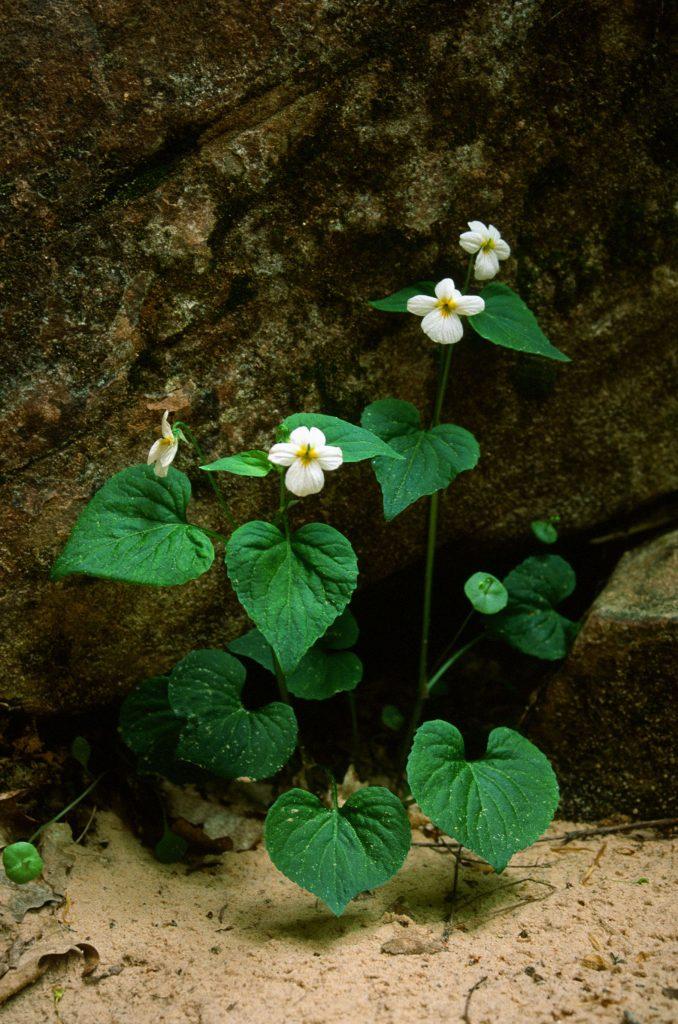 Viola canadensis (syn. rydbergii) (Zion NP, UT. May 2001)