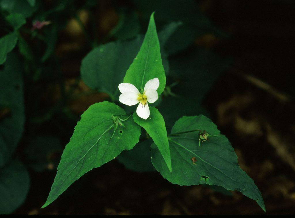 30009 Viola canadensis. Unusually narrow leaves. (Berkshire Co, MA. May 2004)jpg