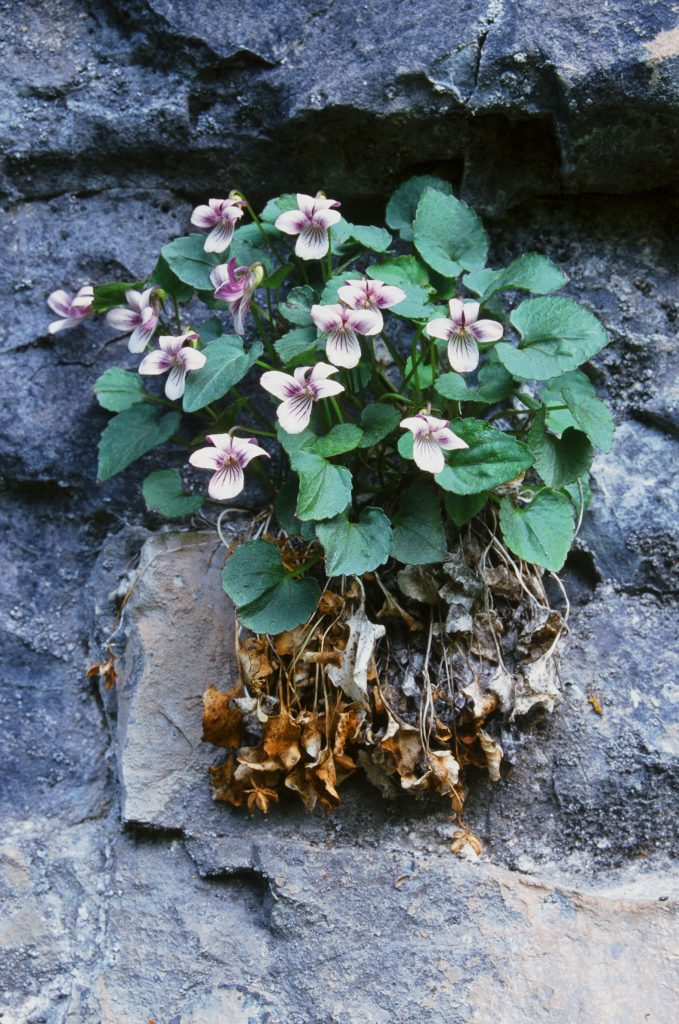 Viola frank-smithii. Flower RHS 84B-C inside petals (Cache Co, UT May 2000)