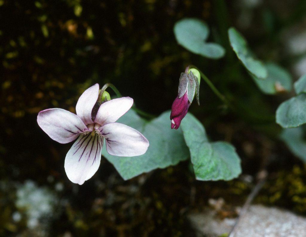 Viola frank-smithii RHS 84B-c inside, 80B petal reverse. (Type site. Cache Co, Logan Co, UT. May 2000)