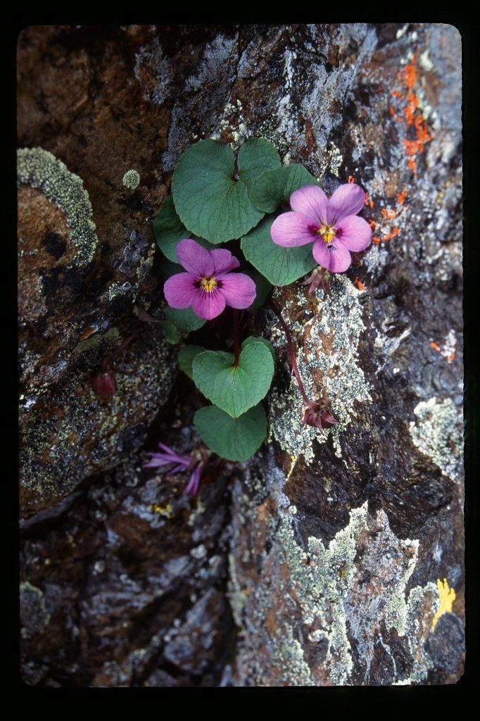 Viola flettii (RHS 82C, back of petals darker 83B-C) Olympic Mts WA, July 1995)