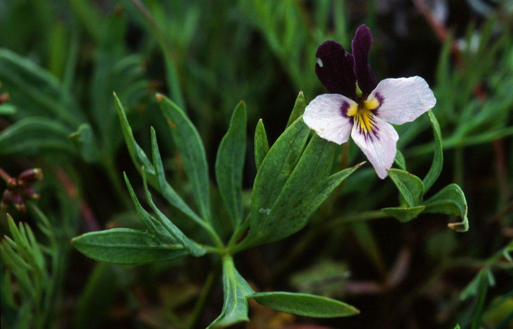 Viola trinervata (Reeser Canyon, Kittitas Co, WA, May 1996)