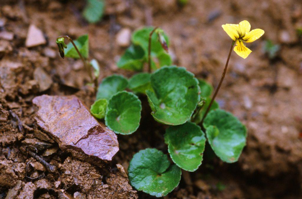 Viola biflora - many branched rhizome, spur 1mm (June 2007)