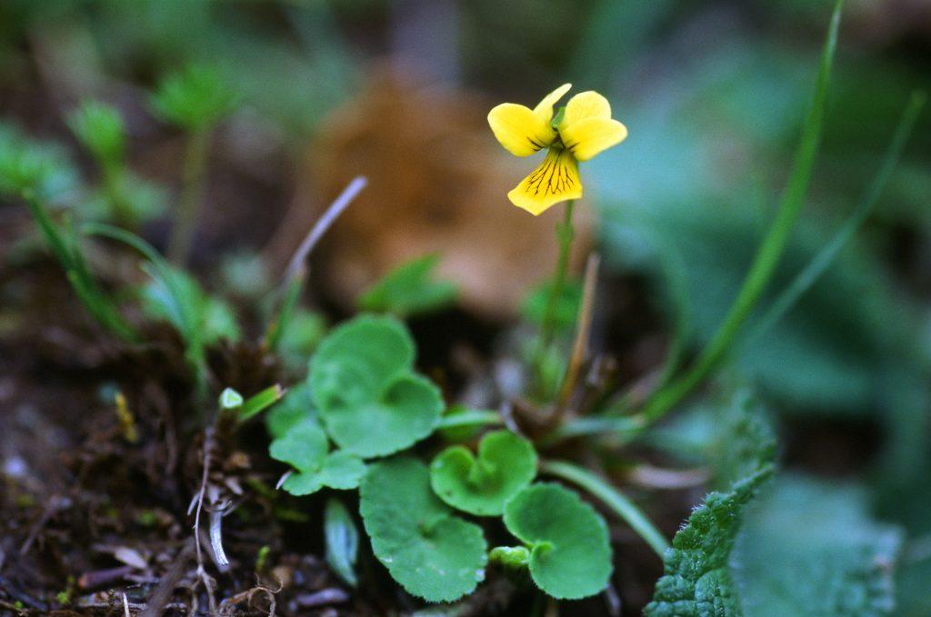 Viola biflora - stoloniferous, spur 1mm. (June 1996)