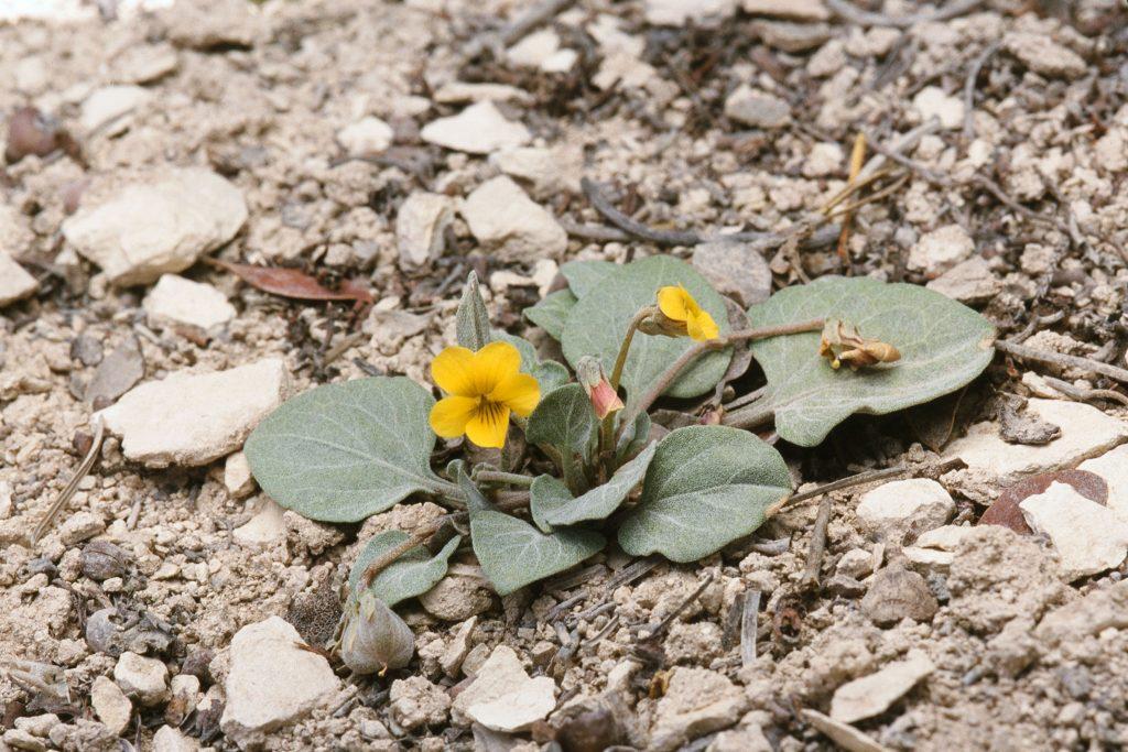 Viola charlestonensis (June 2001)