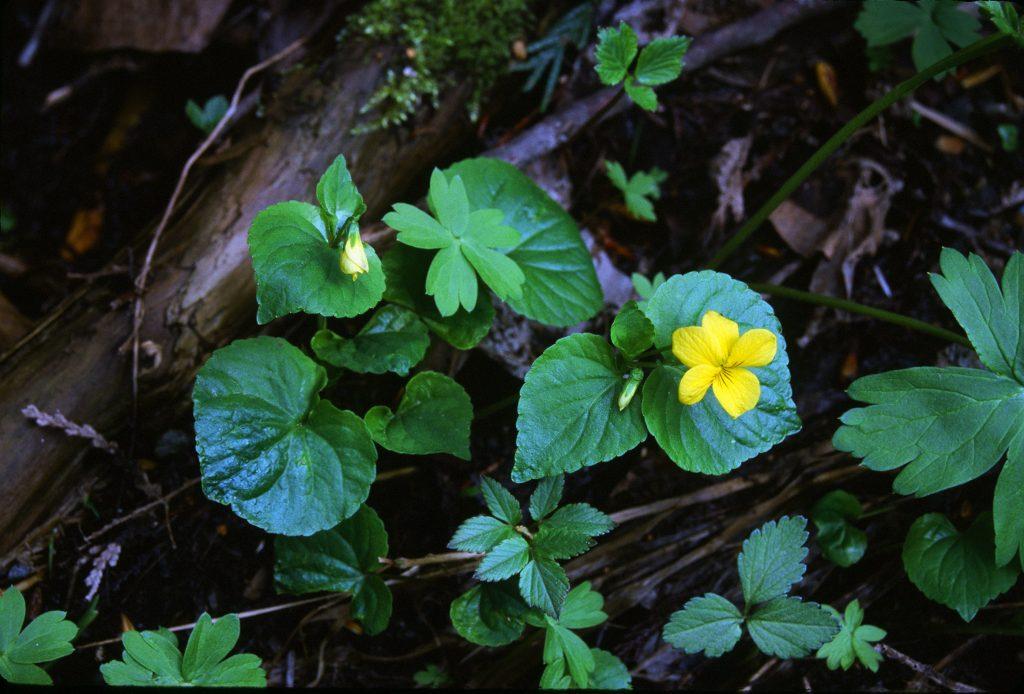 Viola glabella (ENE of Mt. St. Helens, OR. June 2000)