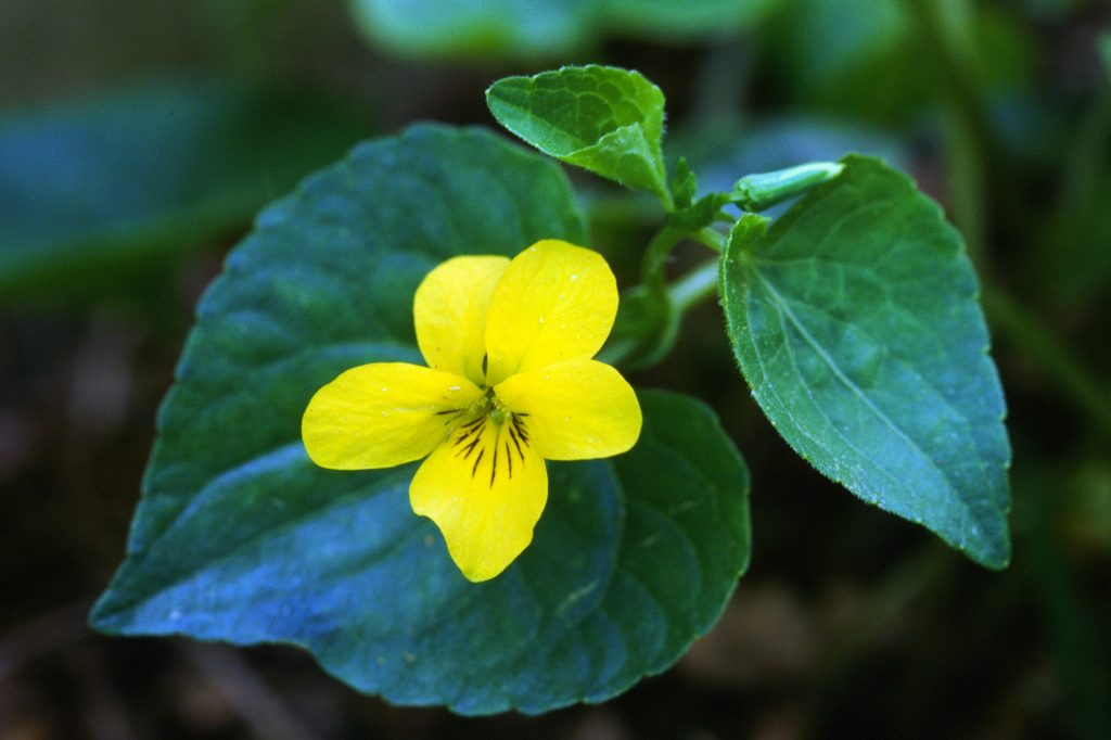 Viola glabella (May 1997)( 81A warming filter)