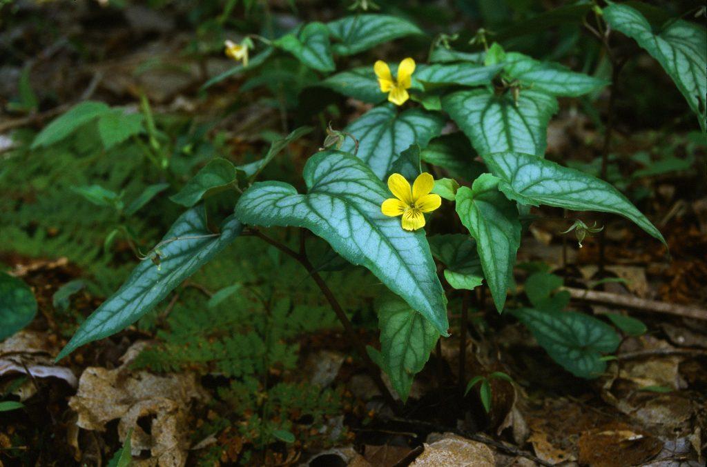 Viola hastata (Dunbar Valley, PA April 2003) (Gold reflector, too green?)