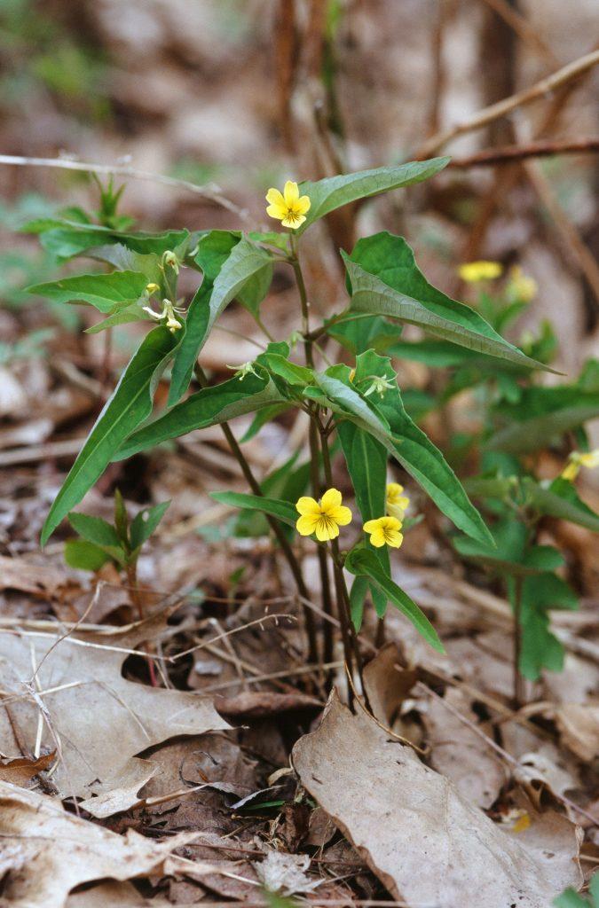 Viola hastata (Dunbar Valley, PA May 2004)