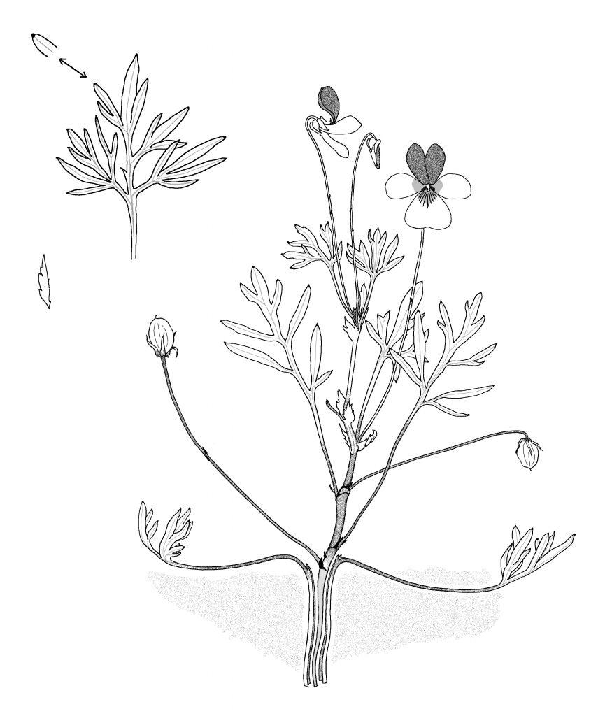 Viola hallii, showing soil level.