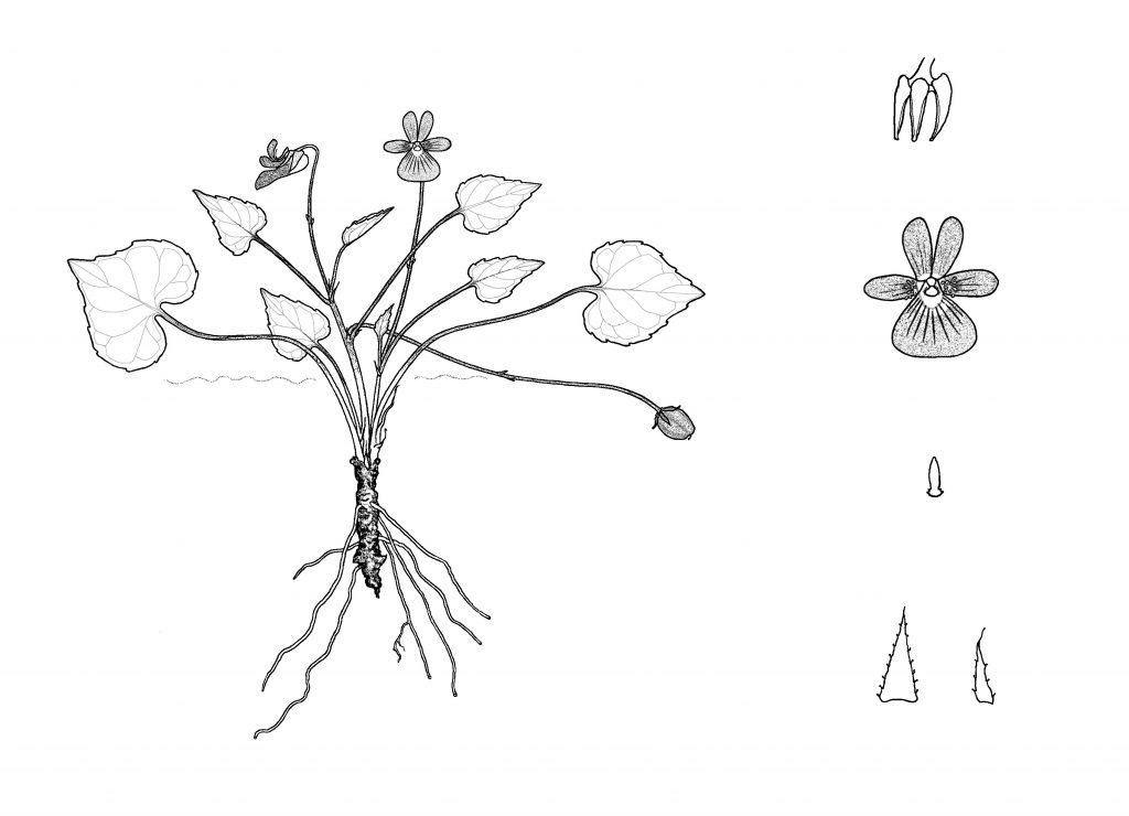 Viola lithion