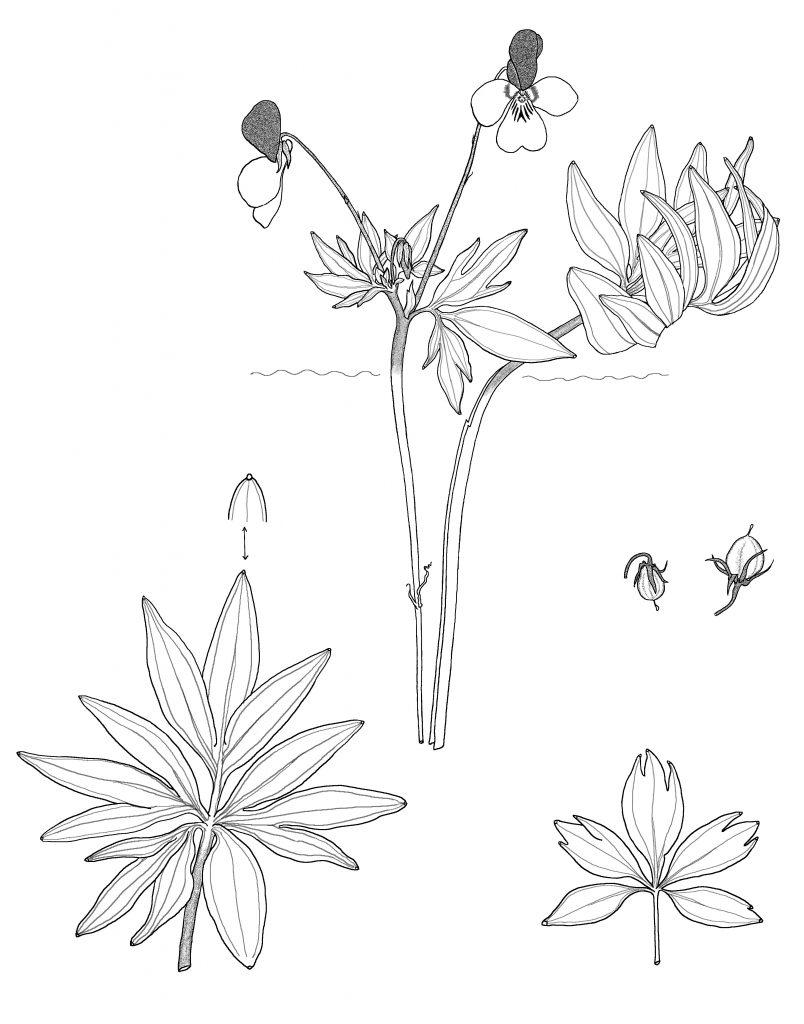 Viola trinervata