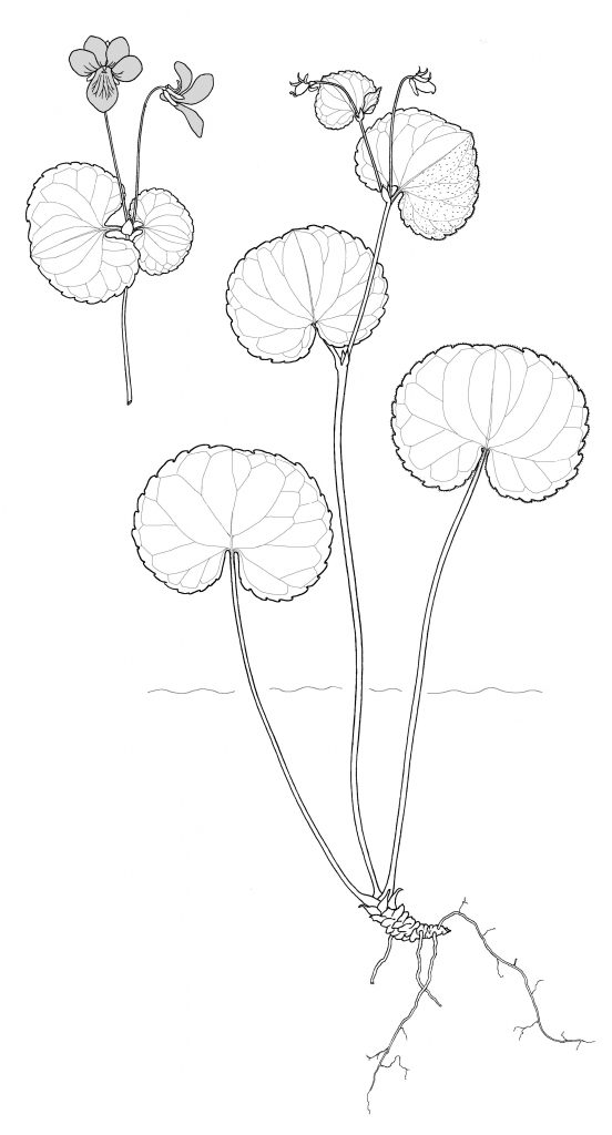 Viola biflora (MCL)