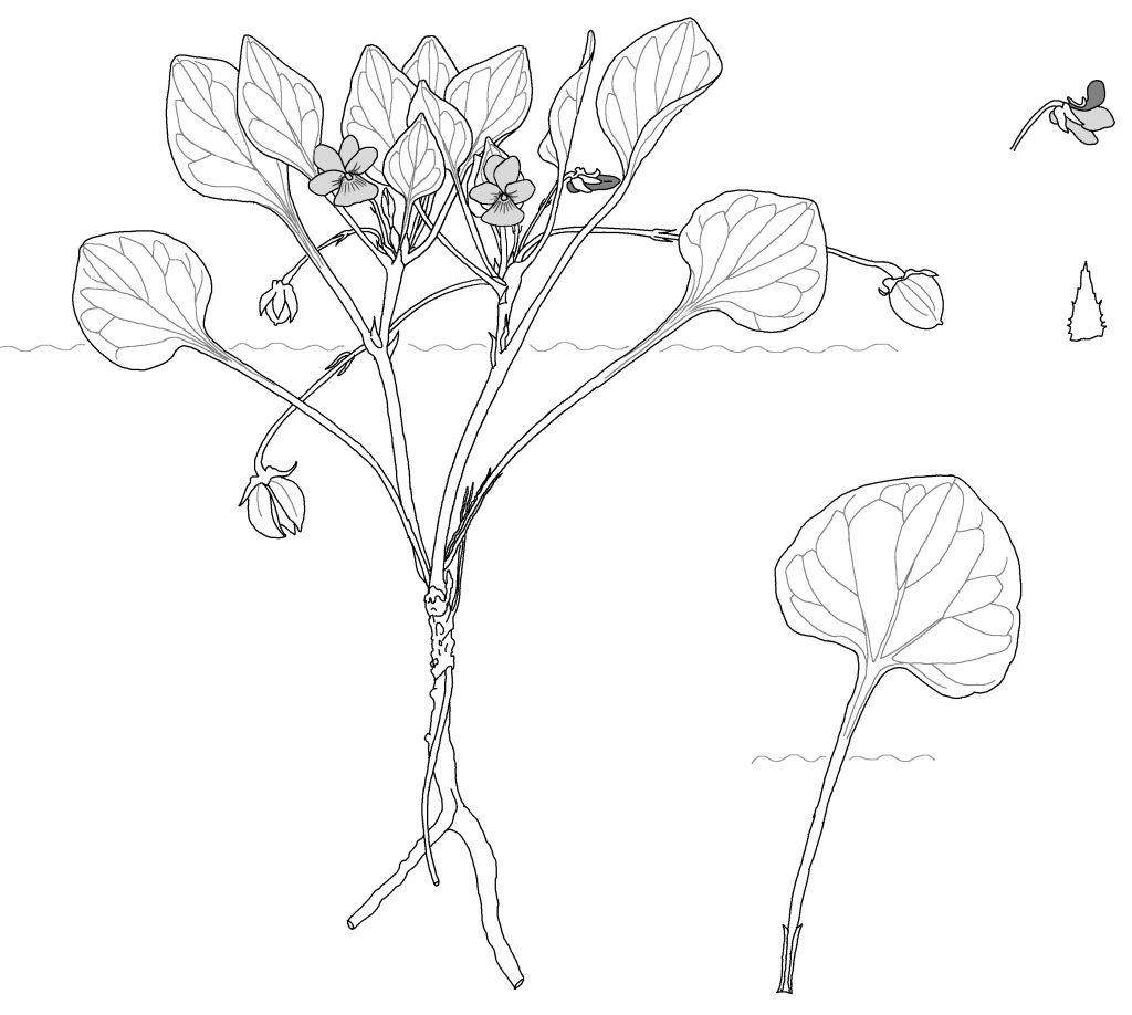 Viola charlestonensis (MCL)