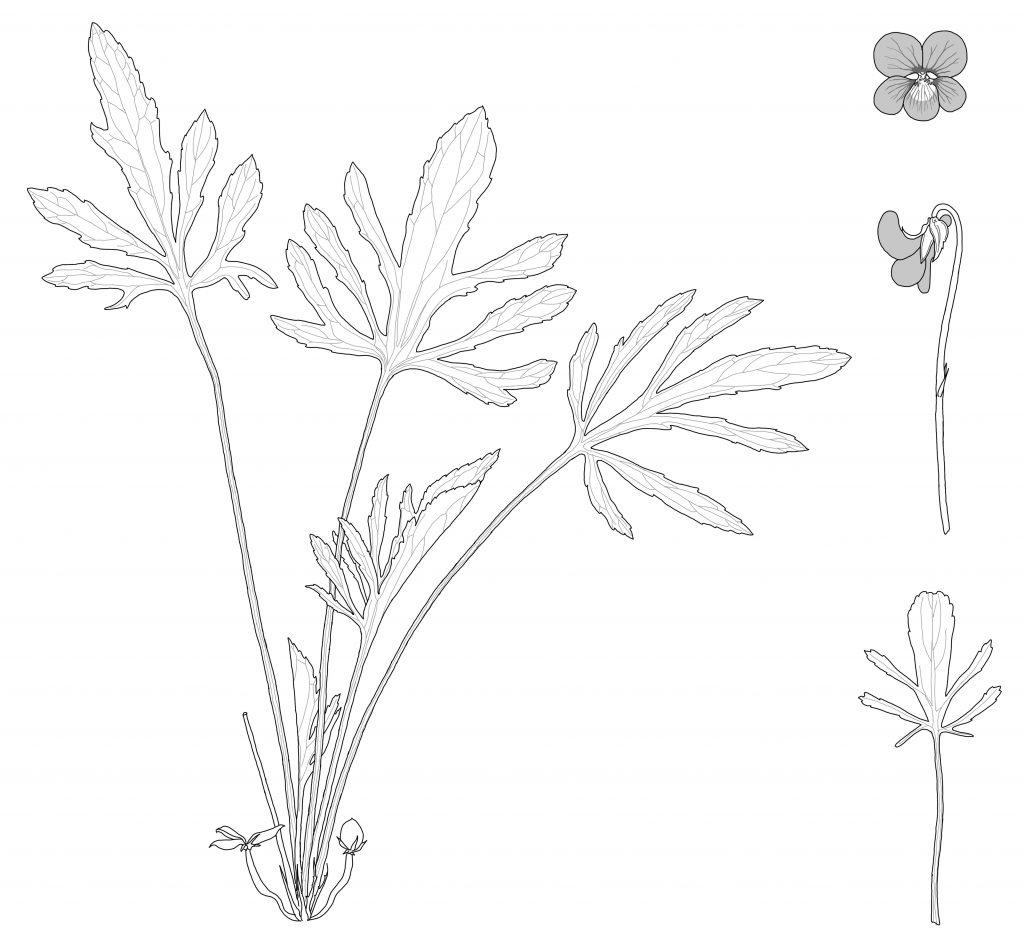 Viola egglestonii (MCL)
