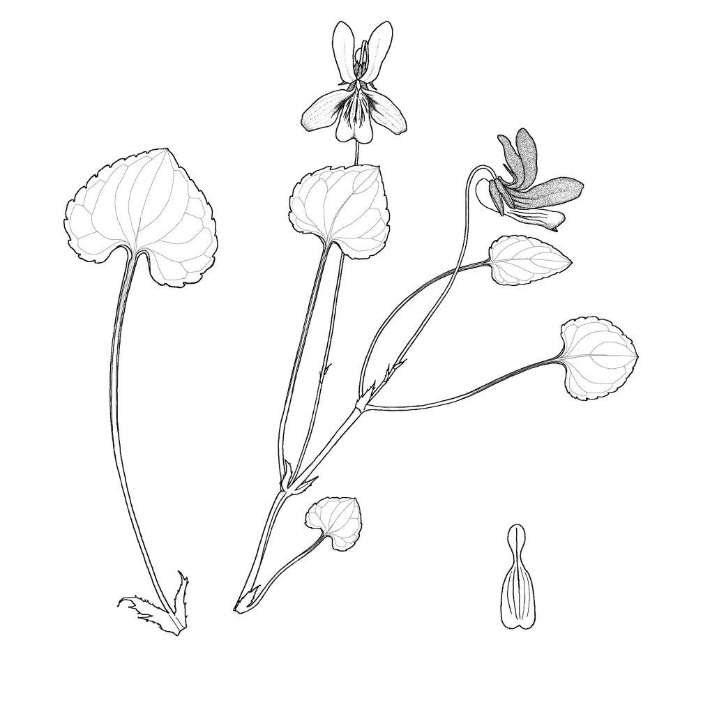 Viola frank-smithii