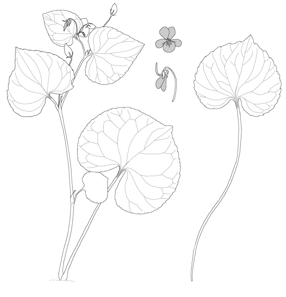 Viola glabella (MCL)