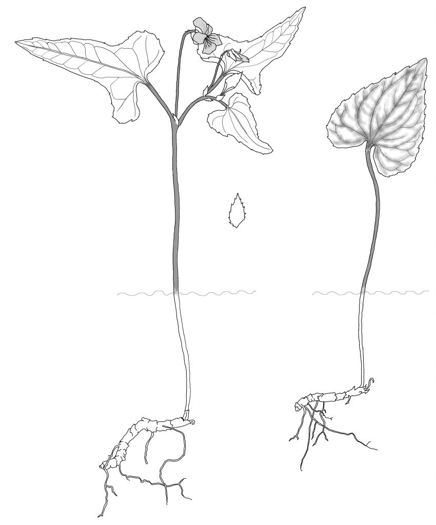 Viola hastata (MCL)
